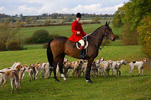 The huntsman is surrounded by the hounds at the opening meet of the Quorn Hunt, in Leicestershire, England, UK.  October 2009 - Kristel Richard