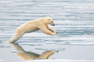 Polar bear (Ursus maritimus) sow jumping while hunting for seals on sea ice, off the coast of Svalbard, Norway - Steven Kazlowski