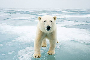 Polar bear (Ursus maritimus) on sea ice, off the coast of Svalbard, Norway - Steven Kazlowski
