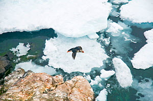 Atlantic puffin (Fratercula arctica) in flight off the coast of Svalbard, Norway  -  Steven Kazlowski