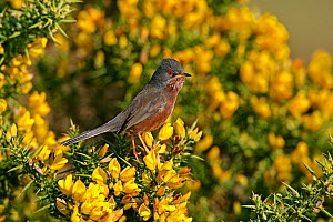 Male Dartford Warbler (Sylvia undata) perched on Gorse bush, Dorset, UK, April  -  Alan Williams