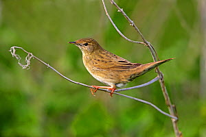 Grasshopper Warbler (Locustella naevia) perching on stem at the edge of marsh, Dee Estuary, UK, May.  -  Alan Williams