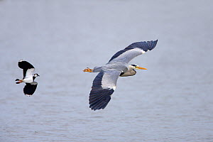 Grey Heron (Ardea cinerea) in flight, being chased by Lapwing (Vanellus vanellus) North Wales, UK, May  -  Alan Williams