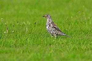 Mistle Thrush (Turdus viscivorus) foraging for food in grassland. Cheshire, UK, May. - Alan Williams