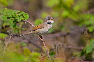 Male Common Whitethroat (Sylvia communis) singing in bramble patch, Cheshire, UK, April.  -  Alan Williams