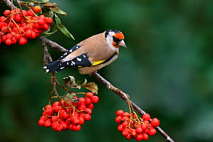 Goldfinch (Carduelis carduelis) perched on Rowan tree branch, Cheshire, UK, September. - Alan Williams