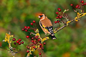 Goldfinch (Carduelis carduelis) perched on Hawthorn, Cheshire, UK, October.  -  Alan Williams