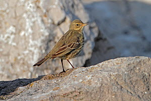 Rock Pipit (Anthus petrosus) singing perched on rocks on beach, North Wales coast, UK, December.  -  Alan Williams
