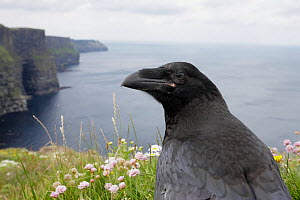 Raven (Corvus corax) on cliff top, Cliffs of Moher, County Clare, Ireland, June 2009  -  Wild Wonders of Europe / Hermans