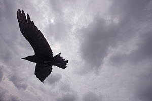 Raven (Corvus corax) in flight, silhouetted, The Burren, County Clare, Ireland, June 2009  -  Wild Wonders of Europe / Hermansen