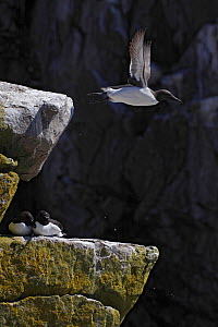 Guillemots (Uria aalge) one in flight, two sitting on rock, Saltee Islands, County Wexford, Ireland, June 2009 - Wild Wonders of Europe / Hermansen