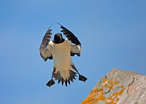 Razorbill (Alca torda) in flight, Saltee Islands, County Wexford, Ireland, June 2009  -  Wild Wonders of Europe / Hermansen