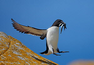 Razorbill (Alca torda) landing on rock carrying fish, Saltee Islands, County Wexford, Ireland, June 2009 - Wild Wonders of Europe / Hermansen