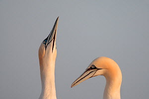 Gannets (Morus bassanus) pair, Saltee Islands, County Wexford, Ireland, June 2009 - Wild Wonders of Europe / Hermansen