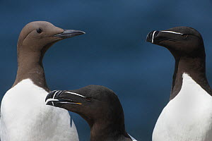 Two Razorbills (Alca torda) and a Common guillemot (Uria aalge) Saltee Islands, County Wexford, Ireland, June 2009 - Wild Wonders of Europe / Hermansen