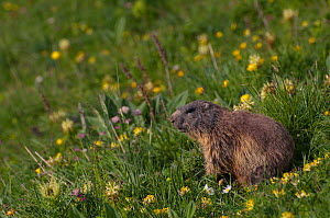 Alpine marmot (Marmota marmota) sitting on grass amongst flowers, Liechtenstein, June 2009  -  Wild Wonders of Europe / Giesbers