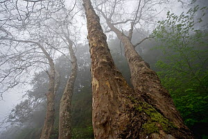 Plane trees (Platanus sp) in mist, Ribeiro Frio area, Madeira, March 2009 - Wild Wonders of Europe / Radisics