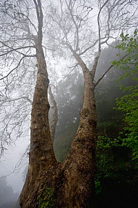 Plane tree (Platanus sp) in mist, Ribeiro Frio area, Madeira, March 2009 - Wild Wonders of Europe / Radisics