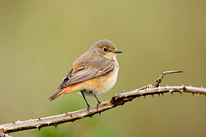 Common redstart (Phoenicurus phoenicurus) on bramble, Norfolk, England, September - Robin Chittenden