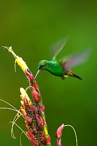 Copper rumped hummingbird (Amazilia / Saucerottia tobaci) feeding, Trinidad, April  -  Robin Chittenden