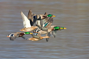 Mallard ducks (Anas platyrhynchos) in flight over water, Whitlingham CP, Norfolk, England, February  -  Robin Chittenden