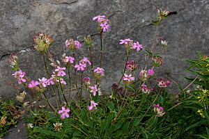 Tufted soapwort (Saponaria caespitosa) in flower, Hautes-Pyrenees France, July  -  Robin Chittenden