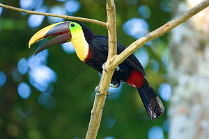 Black mandibled / Yellow-throated toucan (Ramphastos ambiguus) perched in tree, Costa Rica, March  -  Robin Chittenden