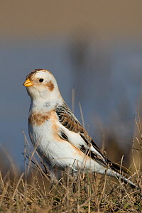 Snow bunting (Plectrophenax nivalis) portrait, Norfolk, England, February  -  Robin Chittenden