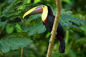Black mandibled / Yellow-throated toucan (Ramphastos ambiguus) on branch, Costa Rica, March  -  Robin Chittenden