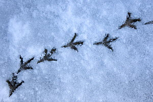 Wood pigeon (Columba palumbus) footprints in snow, Norfolk, England, March  -  Robin Chittenden