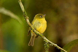 Yellowish flycatcher (Empidonax flavescens) on branch, Saverge, Costa Rica, March  -  Robin Chittenden