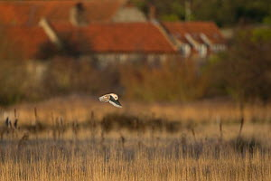 Barn owl (Tyto alba) in flight over field, Wiveton, Norfolk, England, January  -  Robin Chittenden