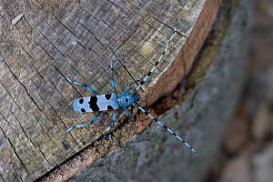 Rosalia longicorn (Rosalia alpina) on tree stump, Bukk Hills, Hungary, July - Robin Chittenden
