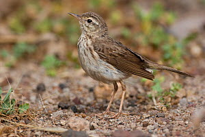 Berthelot's pipit (Anthus berthelotii) on ground, Madeira, Portugal, May  -  Robin Chittenden