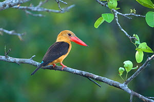 Brown-winged kingfisher (Pelargopsis amauroptera) perched on branch, Krabi, Thailand, January - Robin Chittenden