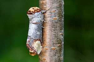 Buff tip moth (Phalera bucephala) on branch, mimicking piece of wood, Norfolk, England, June - Robin Chittenden
