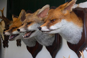 Stuffed Red fox (Vulpes vulpes) heads on wall, Holkham, Norfolk, England, July  -  Robin Chittenden