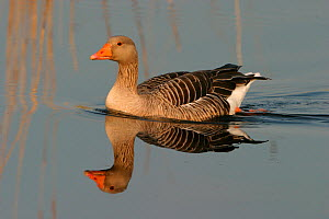 Greylag goose (Anser anser) on water, Hickling Broad NWT, Norfolk, England, April  -  Robin Chittenden