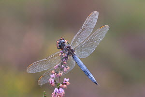 Male Keeled skimmer (Orthetrum coerulescens) in flight, Holt Lows CP, Norfolk, England, August - Robin Chittenden