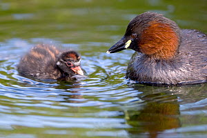 Little grebe (Tachybaptus ruficollis) adult with chick on water, Cley NWT, Norfolk, England, August  -  Robin Chittenden