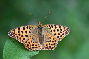 Queen of Spain fritillary butterfly (Issoria lathonia) on leaf, Zemplen Hills, Hungary, July  -  Robin Chittenden