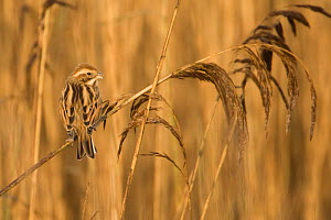 Female Reed bunting (Emeriza schoeniclus) perched on reed, Dingle Marshes, Suffolk, England, November - Robin Chittenden