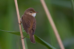 Reed warbler (Acrocephalus scirpaceus) on reed, Whitlingham CP, Norwich, England, May  -  Robin Chittenden