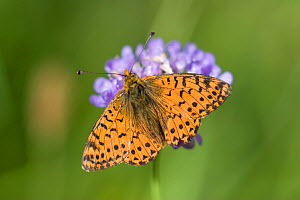 Shepherd's fritillary butterfly (Boloria pales) on flower, Pyrenees, France, July  -  Robin Chittenden