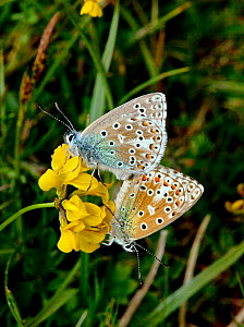 Adonis blue butterfly (Polyommatus bellargus) pair mating, on flower, Dorset, England, May - David Kjaer