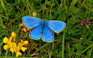 Male Adonis blue butterfly (Polyommatus bellargus) Dorset, England, May - David Kjaer