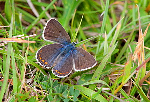 Female Adonis blue butterfly (Polyommatus bellargus) Dorset, England, May - David Kjaer