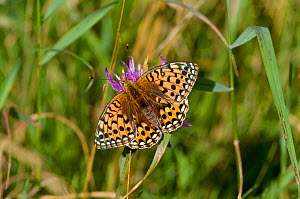Female Dark green fritillary (Argynnis aglaja) Dorset, England, August  -  David Kjaer