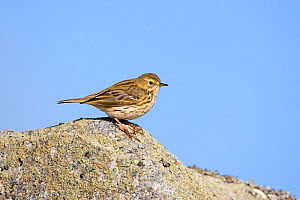 Meadow pipit (Anthus pratensis) on rock, Deeside, Scotland, April  -  David Kjaer