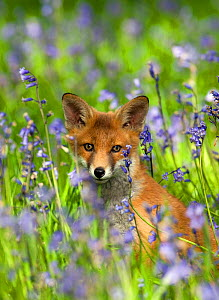 Red fox (Vulpes vulpes) cub in Bluebells, Oxfordshire, England, May  -  David Kjaer